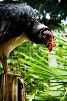 Colourful King Vulture by andyjh07