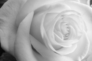 Close up white rose 01 by vallendesterstock