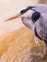 Heron by FreyaPhotos