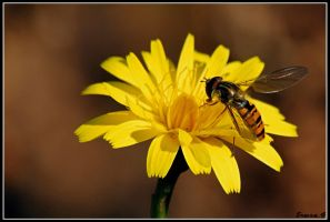 hoverfly  III by Balto-Wolf