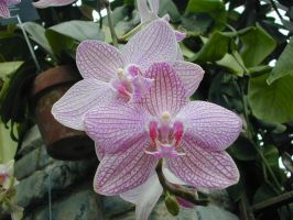 pink orchid by NyxErebus