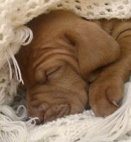 Only 1 month old vizsla pup by Vihartancos