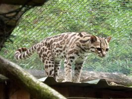 2014 - Margay 19 by Lena-Panthera