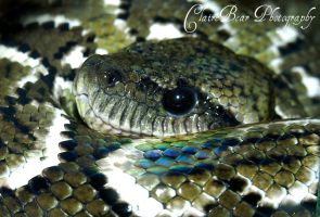 Madagascan tree boa by AngelsSunset