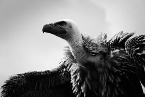 White-backed vulture by ToddMonotony