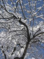 snow on tree 01 by CotyStock
