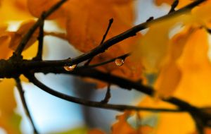Water drops in maple by Kapaska