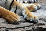 Tiger Paws by winterface
