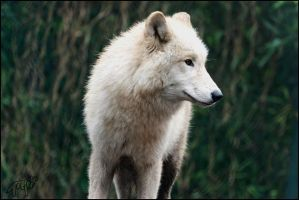 Hudson Bay Wolf 37 by Canisography