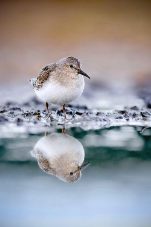 Temminck's Stint II by ~sampok