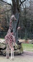 Giraffe by NHuval-stock