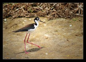 Black-necked Stilt by hfs991hfs
