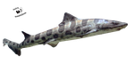Cut-out stock PNG 106 - leopard shark by Momotte2stocks