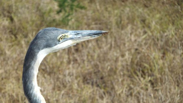 Close Up Heron by Thaylien