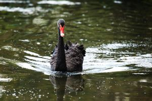 The Black Swan by TheFourSeasonsSG