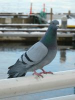 V.P.Stock- Pigeon 3 by VP-Stock