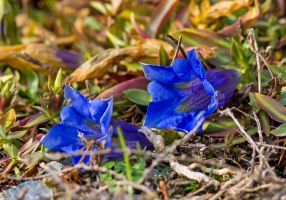 Gentian by firouz222