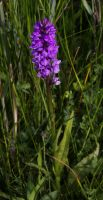 A grassland full of orchids 2 by steppelandstock