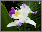 Corsage orchid by Mogrianne