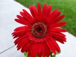 Red Flower by salvadorsam
