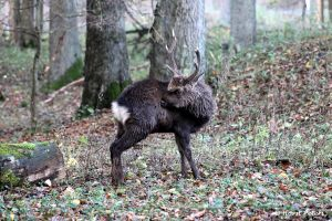 Japan-Sikahirsch / Sika Deer by bluesgrass