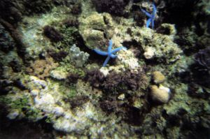 Blue Starfish by lomocotion