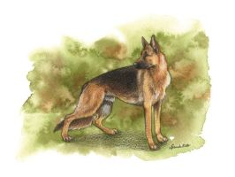 German Shepherd 2 by saraquarelle