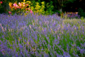 Lavender Field Stock by Moonchilde-Stock
