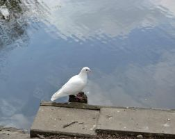 White pigeon by IllyDragonfly