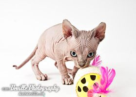 Sphynx kitten by DevillePhotography