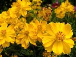 Yellow Flowers 5 by richardxthripp