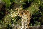 Jaguar 2 by 904PhotoPhactory