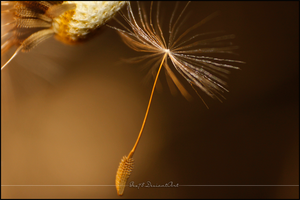 Dandelion by Gex78