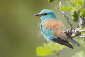 Chillin - European Roller by Jamie-MacArthur