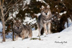The vigilant Wolves by PictureByPali