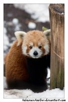 Red Panda Portrait by hoboinaschoolbus