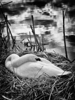 Mother Swan - Mono by Wayman