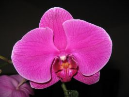 Pink Orchid by Sweetlittlejenny