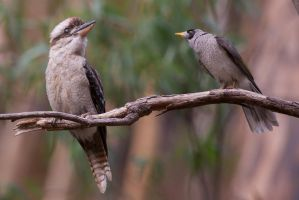 Intimidating the Kookaburra by Simon-Hunt