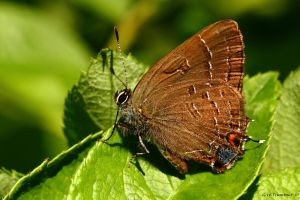 Banded Hairstreak by natureguy