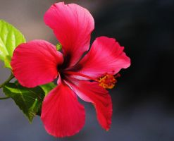 Hibiscus 1 by Tyyourshoes