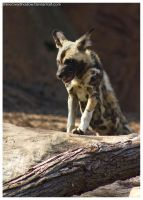 African Wild Dog - Pups 025 by ShineOverShadow