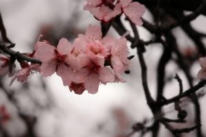 pink almond flowers by aPurringCat