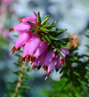 Spring Heather by Forestina-Fotos