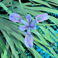FS Irises 1 Deep Blue by Okavanga