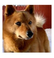 Finnish Spitz: Northern Fox by dogs
