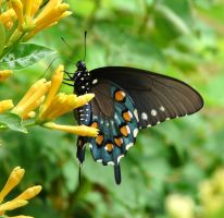 morePipevineSwallowtail by duggiehoo
