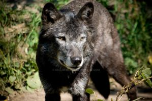 Timber Wolf by bellafreck