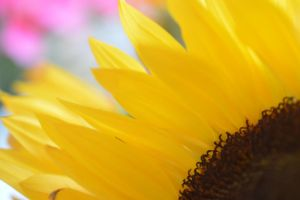 Beauty of a Sunflower by SharPhotography