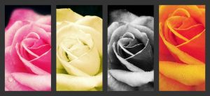 Rose Series by Feffafee